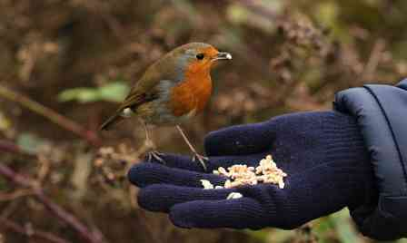 List of the Best Foods to Attract Robins to Your Backyard or Garden…!