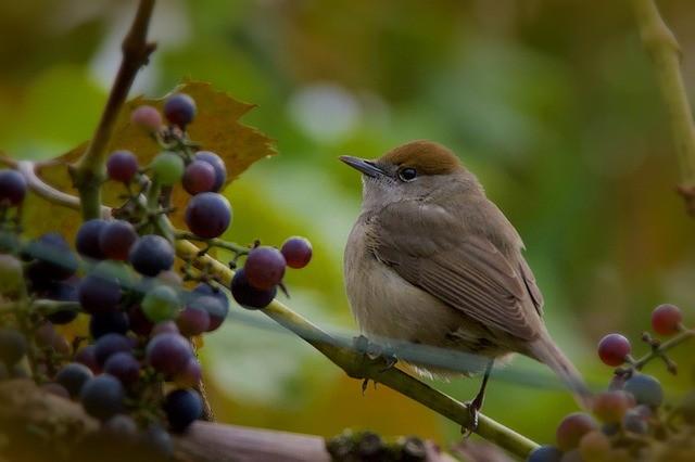 Do Wild Garden Birds Like Grape & Is It Good For Them?