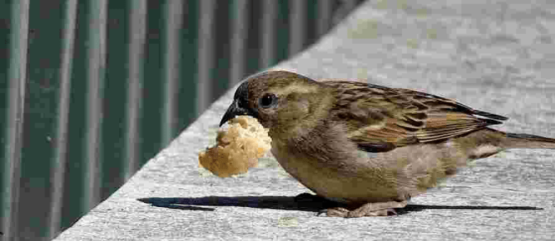 Sparrow eating Bread