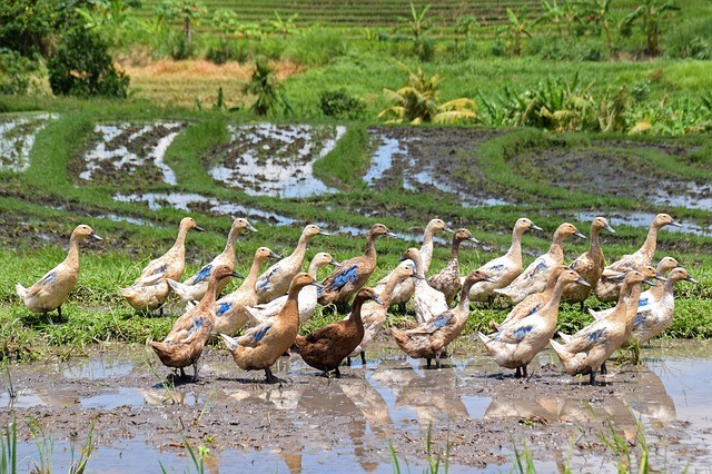 geese in rice field