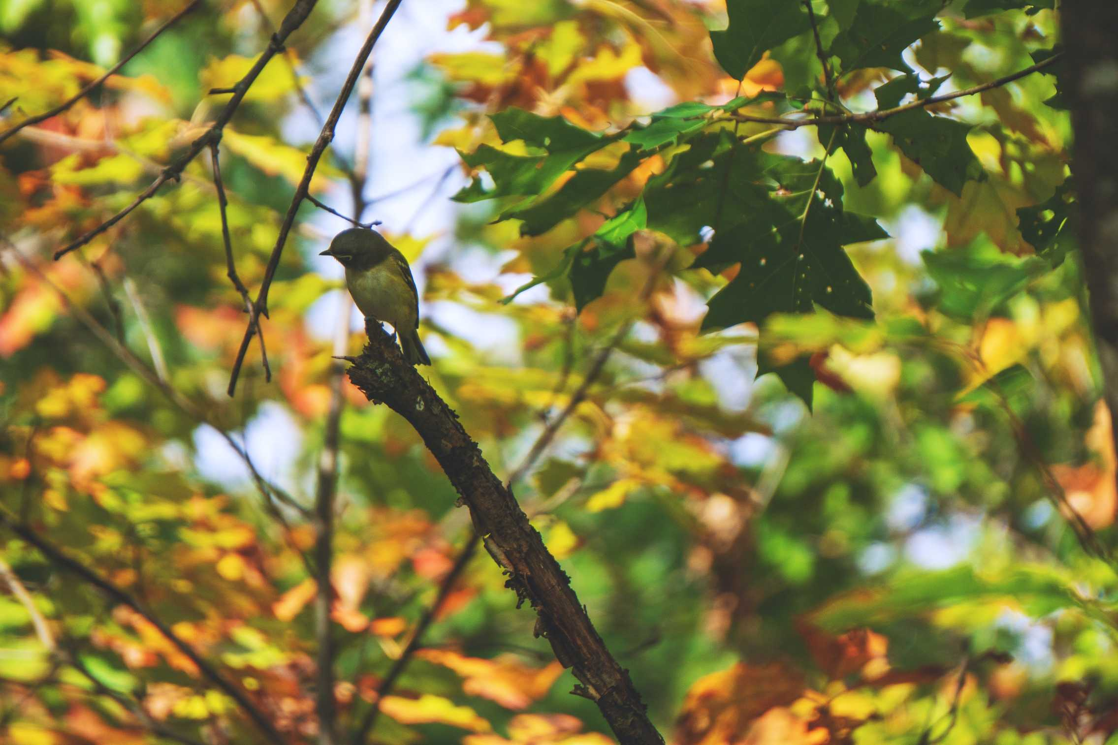 Everything You Need To Know About the Red-Eyed Vireo…