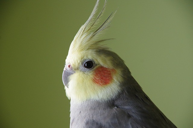 Do Cockatiels Like Kale & Is It Healthy and Safe For Them To Eat?