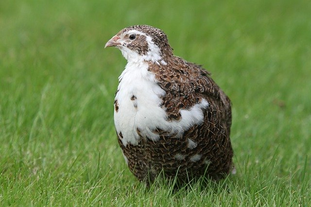 The Quail Diet Along With A List of Their Favourite Foods…