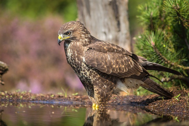 The Sparrowhawk Diet Along With A List of Their Favourite Foods…