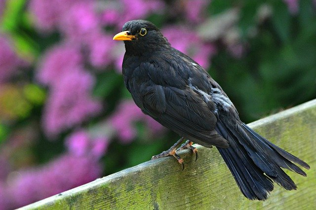 The Blackbird Diet Along With A List of Their Favourite Foods…