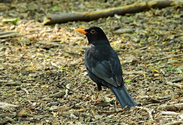 blackbird soil