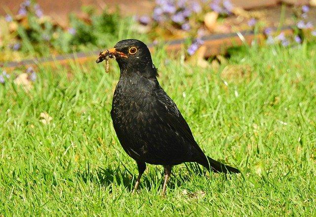 male blackbird eating worm