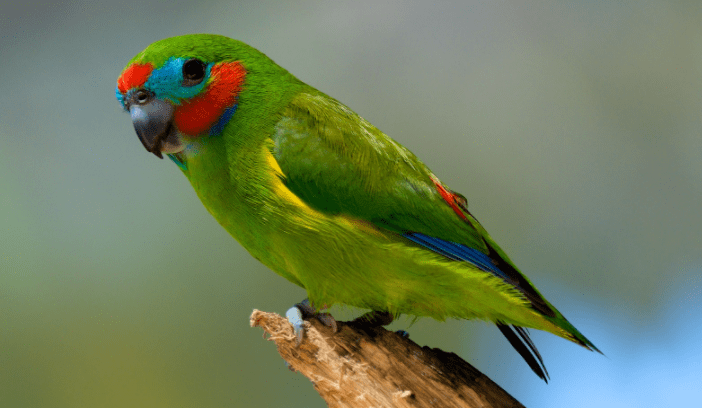 the fig parrot