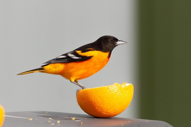 Best Oriole Feeders for Grape Jelly, Marmalade & Nectar!