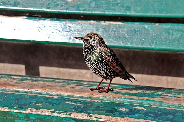 The Starling Diet Along With A List of Their Favourite Foods…