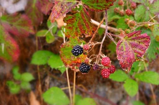 bushes with berries