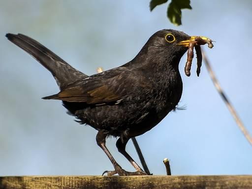 blackbird carrying worms