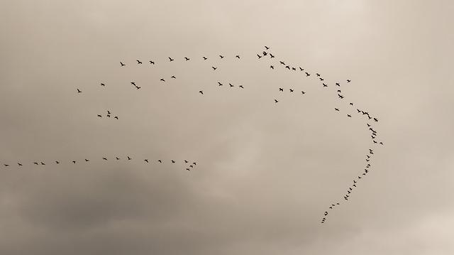 swarm of birds migrating